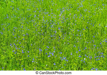 Buttercups in the grass