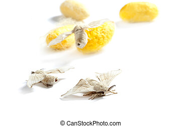 butterfiles of silk worm and cocoon yellow