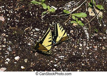 butterflies 4287