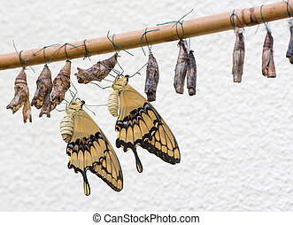 Swallowtail butterflies and their cocoons
