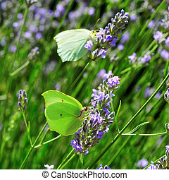 butterflies and lavender