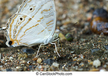Butterflies are feeding on the ground