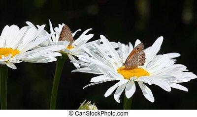 butterflies, chamomile.