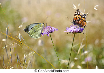 Butterflies feeding on flowers