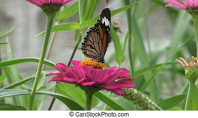 Butterflies Getting Pollen - Several shots of beautiful...