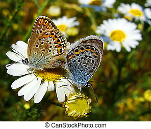 Butterflies in the meadow