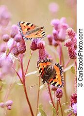 Butterflies on flowers - Aglais urticae butterflies on...