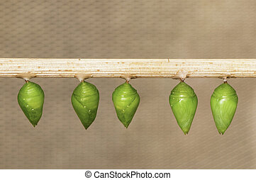 Butterfly pupa hanging on a stick, ready to hatch