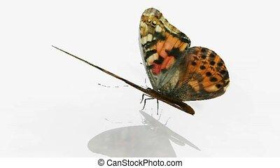 Butterflies wing