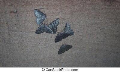 butterflies wintering in the cave (Geometridae)