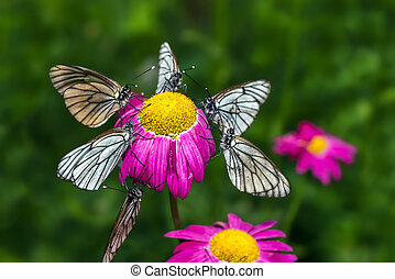 Butterflies with white wings are sitting on a flower