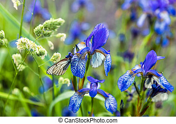 Butterflies with white wings are sitting on the iris flower