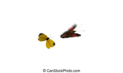 Butterflies Yellow Eurema Brenda and Peacock Playfully Fly...