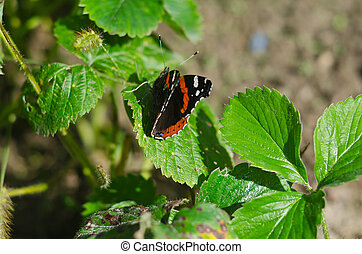 Butterfly admiral