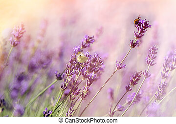 Butterfly and bee-bumblebee on lavender flower, selective focus on butterfly and bee-bumblebee