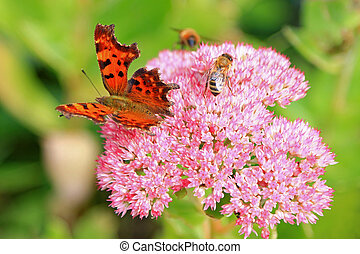 Closeup of the Comma (Polygonia c-album) butterfly and bees enjoying the The star-shaped pink flowers - Fette Henne (Sedum spectabile)
