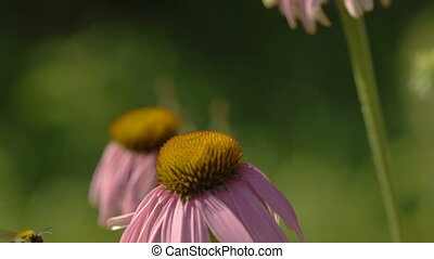 Butterfly and bumblebee on a Echinacea flower