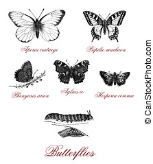 butterfly and butterfly metamorphosis, old print - Different...