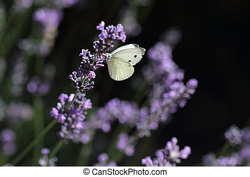 Butterfly and lavender - Closeup photo of a Cabbage White...
