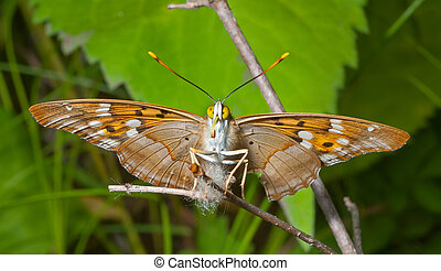 Butterfly (Apatura substituta) 3