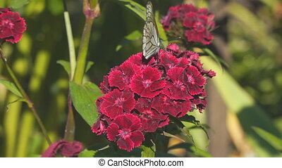 Butterfly aporia Crataegi on red flower