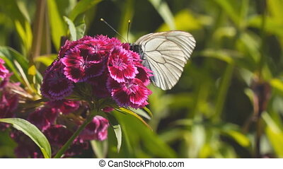 Butterfly aporia Crataegi on red flower - Butterfly aporia...