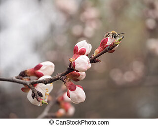 butterfly at the Apricot's blossom flower close-up at white background