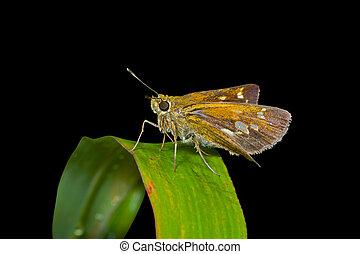 Butterfly (Augeades) 3