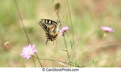 Butterfly - Beautiful butterfly eating breakfast