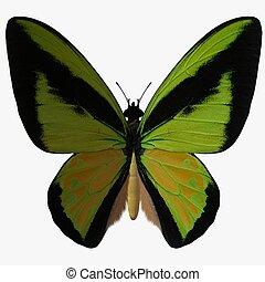Butterfly-BirdwingZ
