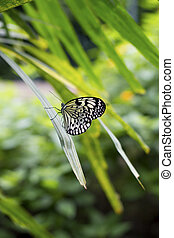 Butterfly black white on palm tree leaf