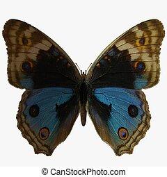 Butterfly-BluePansy