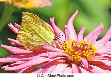 Butterfly - Brimstone - Gonepteryx rhamni Feeding