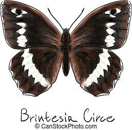 Butterfly Brintesia Circe. Watercolor imitation.