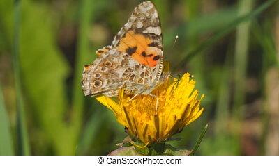 Butterfly burdock on a yellow dandelion flower. Vanessa...