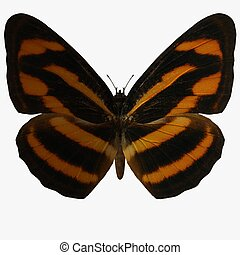 Butterfly-BurmeseLas