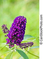 butterfly bush 02