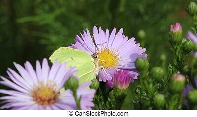 Butterfly - butterfly on asteraceae