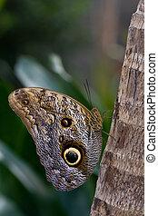 Caligo memnon - butterfly Caligo memnon resting on a trunk