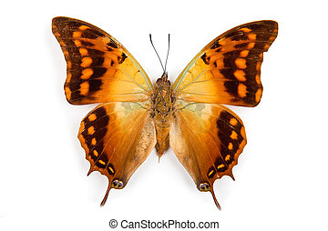 Butterfly Charaxes candiope isolated