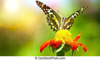 Butterfly (Chilasa Clytia) - loop
