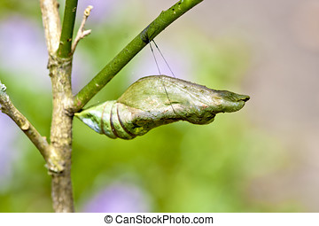 Butterfly chrysalis