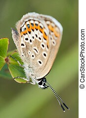 Close up of a beautiful butterfly(Common Blue, Polyommatus icarus)