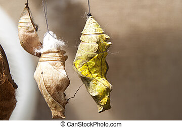 Butterfly Cocoons Hanging on a Twig - Tropical butterfly...