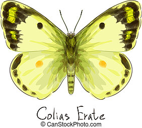 Butterfly Colias Erate. Watercolor imitation. Vector...