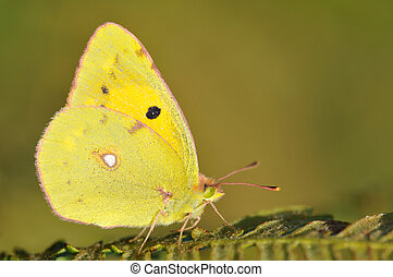 Butterfly Colias on fern