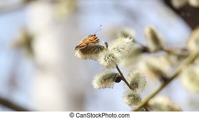 Butterfly collects pollen from willow flowers.