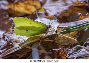Butterfly - Common Brimstone sits on the fallen-down foliage