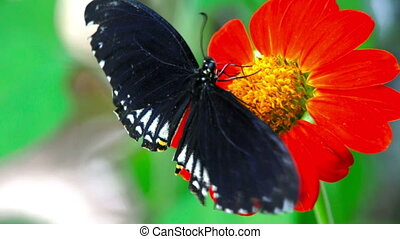 Butterfly, Common India Crow