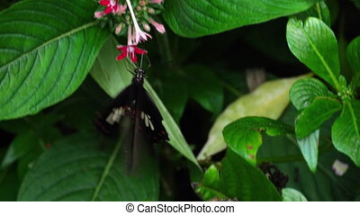 Butterfly Common Mormon, Papilio polytes, on flowers